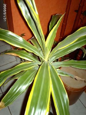 Дейция изящная Никко Deutzia gracilis Nikko цена купить