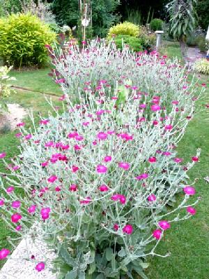 Plantes c - Coquelourde des jardins lychnis coronaria ...